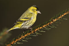 Eurasian siskin perched on a branch, Vosges, France royalty free stock images