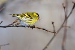 Eurasian siskin sits on a branch of a wild apple tree at sunris. Eurasian siskin Spinus spinus sits on a branch of a wild apple tree at sunrise Royalty Free Stock Image