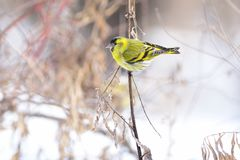 Eurasian siskin sits on a dry blade of grass against the background of snow and dry grass. Eurasian siskin Spinus spinus sits on a dry blade of grass against Stock Photo