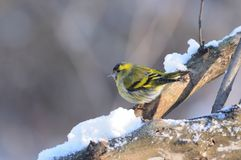 Eurasian siskin sits on a thick branch covered with snow. Eurasian siskin Spinus spinus sits on a thick branch covered with snow in the morning, on a gray Stock Image