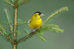 Eurasian siskin. Sitting on a branch Royalty Free Stock Image