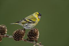 Eurasian siskin. Sitting on a branch Royalty Free Stock Photo