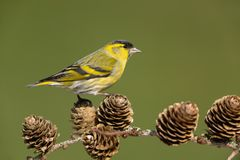 Eurasian siskin. Sitting on a branch Royalty Free Stock Images