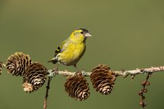 Eurasian siskin. Sitting on a branch Royalty Free Stock Photography