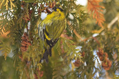 Eurasian siskin sitting on a snow-covered branches arborvitae Royalty Free Stock Images