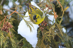 Eurasian siskin,sitting on a snow-covered fir branches Royalty Free Stock Images