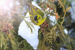Eurasian siskin,sitting on a snow-covered fir branches with sunny hotspot Royalty Free Stock Photography