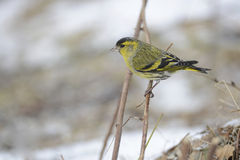 Eurasian siskin Royalty Free Stock Photo