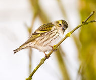 Eurasian siskin sitting on a twig Stock Images
