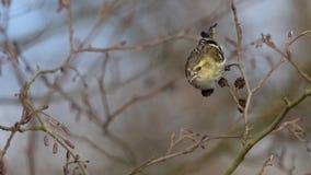 Eurasian Siskin - spinus щегла Стоковые Изображения RF