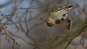 Eurasian Siskin - spinus щегла Стоковые Фотографии RF