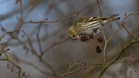 Eurasian Siskin - spinus щегла Стоковое Фото