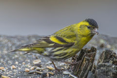 Eurasian Siskin (spinus do Carduelis) Foto de Stock Royalty Free