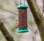 Eurasian siskin or Spinus spinus. Eating some nuts in a feeder Royalty Free Stock Photos