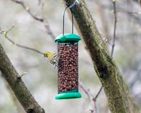 Eurasian siskin or Spinus spinus. Eating some nuts in a feeder Stock Photo