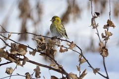 Eurasian siskin sits on a branch of a birch covered with dried leaves. Eurasian siskin Spinus spinus sits on a branch of a birch covered with dried leaves Stock Photo