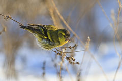 Eurasian siskin , Spinus  ,sitting in weeds and feeds on seeds Stock Images