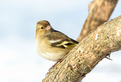 Eurasian siskin. Spinus spinus on branch royalty free stock photo