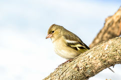 Eurasian siskin. Spinus spinus on branch Royalty Free Stock Photography