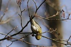 Eurasian siskin Spinus spinus. A Eurasian siskin Spinus spinus in a tree in winter Royalty Free Stock Images