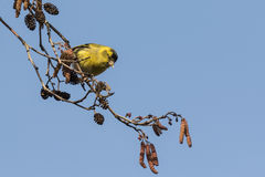 Eurasian siskin , Spinus spinus. Perched on a branch of a tree in a forest. The sky on the background is clear blue Stock Images
