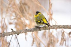 Eurasian siskin sits on a branch of larch, looking back at the photographer. Eurasian siskin Spinus spinus sitting on a branch of larch, looking back at the Royalty Free Stock Photography