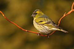 Eurasian Siskin - Spinus spinus. Sitting - female on the branch in the morning with the first sun beams (rays Stock Image