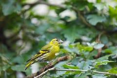 Eurasian siskin Spinus spinus small passerine bird. Sitting on branch Royalty Free Stock Photography