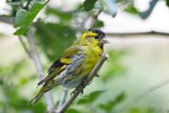 Eurasian siskin Spinus spinus small passerine bird. Sitting on branch Royalty Free Stock Photos