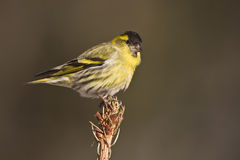 Eurasian siskin standing on a branch Royalty Free Stock Photography