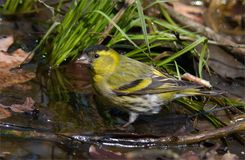 Eurasian Siskin sits in forest puddle at spring stock photos