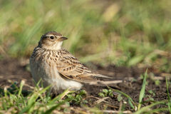 Eurasian sky lark Stock Photography