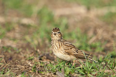 Eurasian sky lark Royalty Free Stock Images