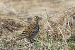 Eurasian Skylark in the dry grasses in early spring Royalty Free Stock Photos