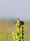 Eurasian Skylark flapping wings Royalty Free Stock Photography