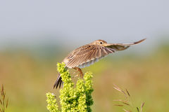 Eurasian Skylark flapping wings Stock Image