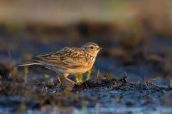 Eurasian skylark warms in hot sweet morning light on the soil ground stock photos