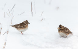 Eurasian skylark trying to chase away another skylark. In heavy winter Royalty Free Stock Photos