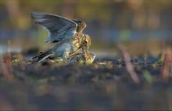 Eurasian skylarks fight against each other on the earth in fierce and severe battle stock images