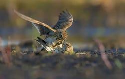 Eurasian skylarks fight against each other on the ground in fierce and severe battle stock images