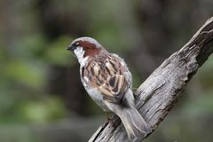 Eurasian sparrow Royalty Free Stock Photography