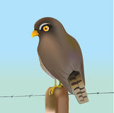 Eurasian sparrow-hawk. An illustration of an Eurasian sparrow-hawk Royalty Free Stock Images