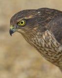 Eurasian Sparrowhaw Fotografia Stock Libera da Diritti