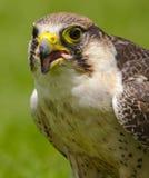 Eurasian Sparrowhaw Fotografia Stock