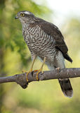 Eurasian Sparrowhawk (настоящий ястреб Nisus) Стоковые Фото
