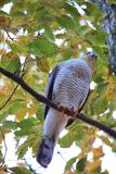 Eurasian Sparrowhawk Стоковые Фото