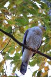 Eurasian Sparrowhawk Стоковое фото RF