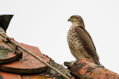 Eurasian sparrowhawk. On the roof of schloss mohren germany Royalty Free Stock Photo
