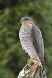 Eurasian Sparrowhawk immagine stock