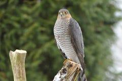 Eurasian Sparrowhawk fotografering för bildbyråer